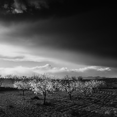 Almond Trees (DavidFrutos) Tags: bw monochrome clouds square landscape monocromo interestingness paisaje bn explore murcia filter lee nd filters canondslr 1x1 almendros filtro filtros gnd neutraldensity almondtrees canon1740mm flickraward densidadneutra interesantísimo davidfrutos 5dmarkii niksilverefexpro singhraygalenrowellnd3ss cagitándemula