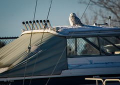 The newest boat accessory . . . (Dr. Farnsworth) Tags: snowyowl owl white large power boat sail winter storage mice vole accessory dry dock traversecity mi michigan february2017