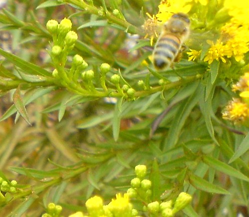 Honey Bee flying to Goldenrod flowers taken with a Sony Ericsson W810i Cell Phone