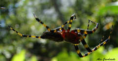 Aranha 8 (Alex Cavalcante) Tags: macro bug insect spider sony insects inseto macros bicho insetos aranha teia h50 photoshopcreativo sonydsch50 sonyh50 alexcavalcante