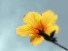 For My Love ( Graa Vargas ) Tags: flower yellow gallery hibiscus hibisco graavargas 2009graavargasallrightsreserved 44013180310