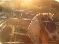 july 09 408 (jessgould) Tags: goatroast july09