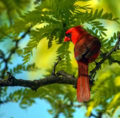 Knowing (ozoni11) Tags: bird nature birds animal animals 1 interestingness nikon cardinal bokeh interestingness1 explore ornithology cardinals passerine i500 explore1 michaeloberman ozoni11