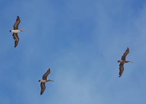 pelicans-over-Pismo-Beach.jpg