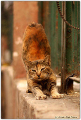 Charging!! (Arvi - the wanderer) Tags: wild india animal animals cat canon delhi canon50mmf18 charging arvinder canon40d arvindersinghrooprai