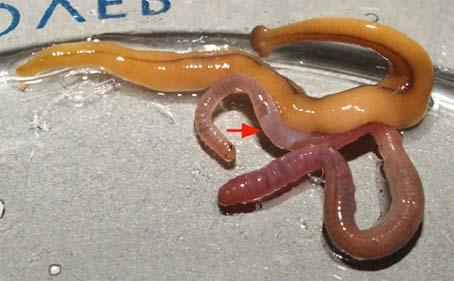 Bipalium+Earthworm