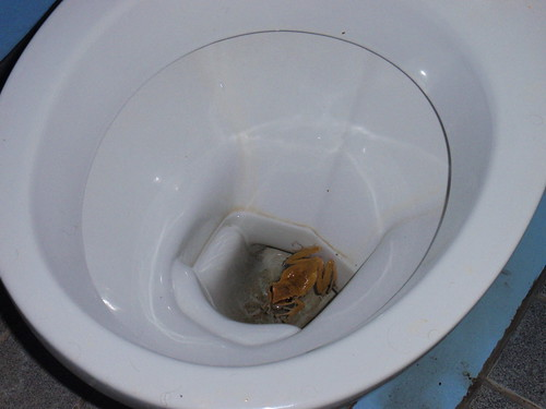 A frog in a toilet in Thailand