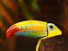 Keel-billed Toucan (zerokarma) Tags: toucan costarica keelbilledtoucan waterfallgardens lapazwaterfallgardens lapazwaterfall