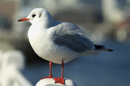 Sea gull @ Yokohama 2