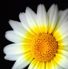 Trescientos sesenta y cinco ptalos (.Bambo.) Tags: wild plant flower planta flora flor plantae crisantemo silvestre asteraceae compositae compuesta crisantemuncoronarium