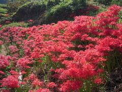 DSCN3041 (Tamago Moffle) Tags: flowers plants japan village district area  mura  nara asuka  higanbana    lycoris radiata     asukamura     inabuchi  narapref   takaichi  takaichidistrict takaichigun