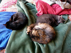Three Cat Curl-ups (Philosopher Queen) Tags: cats pets lucy cozy chats bed gatos mina kitties trio cleo curlups