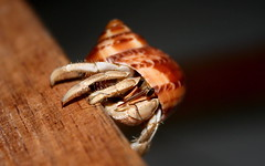 Hanging on ... (Afaal) Tags: nature hermitcrab crab maldives hermit flickraward concordians flickrestrellas mygearandmepremium