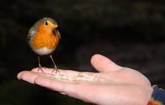 Robin, Erithacus rubecula, landing on Craig Borland's hand to feed (Shandchem) Tags: bird robin scotland erithacusrubecula angus redbreast gannochygorge