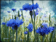 Dreaming blue field... (MargoLuc) Tags: texture legacy bluefield parcodellecave topseven memoriesbook platinumheartaward goldstaraward goldenart flickrvault magicunicornverybest magicunicornmasterpiece