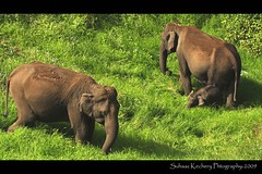 HAPPY DAYzzz (suhaaz Kechery) Tags: baby elephant tourism wildlife mother kerala dk dp greenery munnar motherslove kundala kechery dohakoottam suhaaz discoverplanet