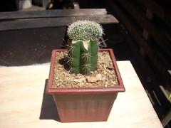 DSCN0015 (Maria luisa y sus cactus) Tags: cactus y otros mis interesantes injertos