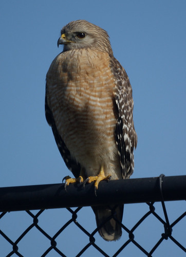 Red-shouldered hawk: Naples Fl