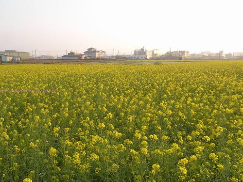 katharine娃娃 拍攝的 8油菜花田。