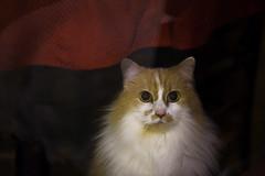 Shop kitty... (tbower) Tags: ohio pet night cat geotagged iso3200 nikon raw nef cs4 canalfultonohio d3s starkcountyohio nikkor2470 nikongp1 pse8