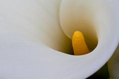 Lily-1 (Michael B Moore) Tags: callalily
