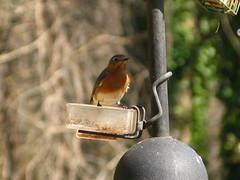 "IMG_1012 (Claire DeLand ~ ""GA Music Maker"") Tags: nature birds wildlife bluebird easternbluebird winterbirds backyardbirds g9 winter2010 carnesvillega february20th2010 birdiebuffet2010"