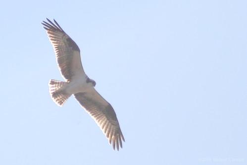 Osprey (4)