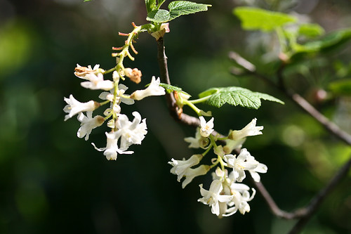 white-flowered currants