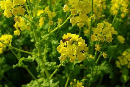 菜の花畑 #6