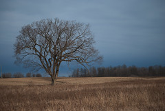 True Beauty Stands Alone (Kim Kurtz) Tags: beauty solitude lonetree landscapescenery binbrookconservationarea nikond3000 kimkurcz wegolookingforbirds ifindatree iliketreesbetter