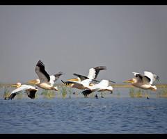A wonderful bird is the Pelican... (D a r s h i) Tags: birds flight pelican huge pune ahmedabad nalsarovar darshi darshita olympussp565z