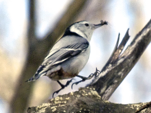 nuthatch hopping