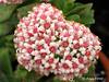"Crassula ""Martins Pink"" (Cactus Ana Font) Tags: pink flowers flores martins crassula suculenta"