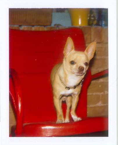 red chair chihuahua