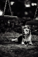 ?could you smile for mE (27147) Tags: dog beagle grass tongue garden thailand village lawn swing sit chonburi thelittledoglaughed 27147 casalunar
