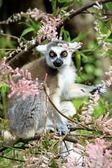 Lémur catta (olivier.ghettem) Tags: lémurien lémurcatta lémuriens zoodeparis zoodevincennes zoo parczoologiquedeparis paris madagascar animal primate primates