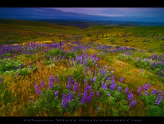 Wildflower Dreams (Darren White Photography) Tags: morning flowers west nature sunrise landscape spring nikon natural northwest north scenic pacificnorthwest wildflowers washingtonstate columbiagorge lupine springtime softlight balsamroot d