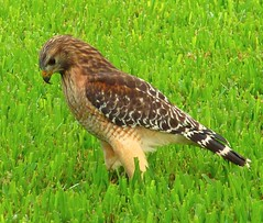 Red Shouldered Hawk (Buteo lineatus)... (Minkn) Tags: red usa lake bird nature beautiful birds norway america golf norge florida hawk wildlife course raptor falcon hauk falk buteo shouldered jovita lineatus tz7 rovfugl minkn
