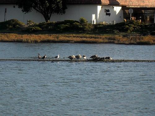 Cormorants, Gull, Pelicans