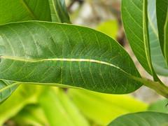 malaysia unbekannte Raupenart unidentified caterpillar