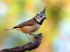 Crested Tit (  Parus cristatus ) (diegocon1964) Tags: españa jaen crestedtit herrerillocapuchino paruscristatusandujar