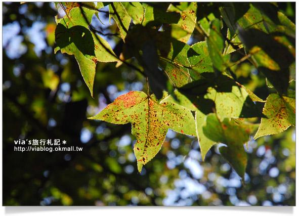 【奧萬大賞楓】楓葉的故鄉~奧萬大國家公園