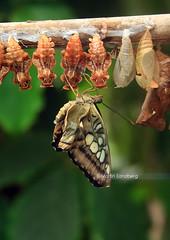 Let me dry (Swedish Goose) Tags: butterfly sweden stockholm gap scandinavia pupa hagaparken canonefs1855 mygearandmepremium mygearandmebronze