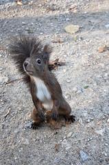DSC_2183 (thi.g) Tags: schönbrunn vienna brown nikon squirrel curious thig d90 thilogierschner