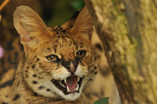Serval Hissing