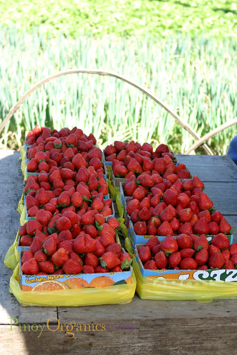 fresh harvest of strawberries