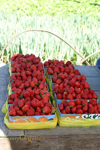 fresh harvest of strawberries