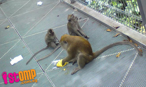 Monkeys getting more daring at Forest Walk: One snatches food from passerby