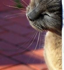 Soakin' up the Sunshine (*~Dawn~*) Tags: sunshine cat gray happiness contentment graycat greycat