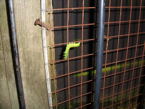 aseasonal caterpillar
